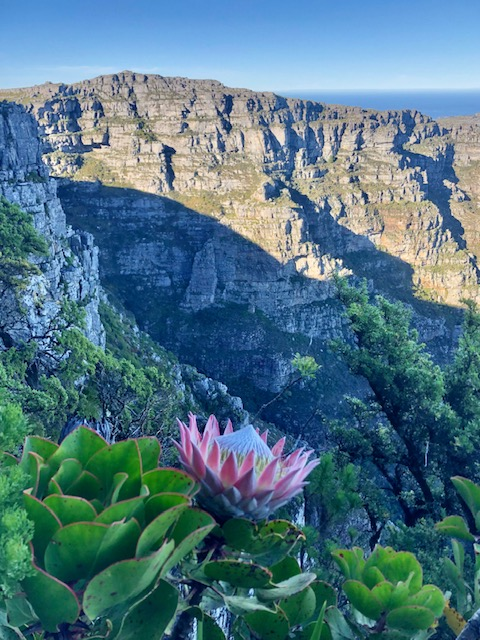 The King protea in full bloom high up India Venster.
